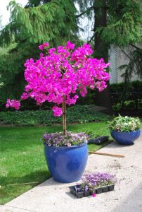 roz orxidea se mple glastra ston kipo