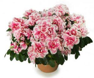 roz azalea glastra