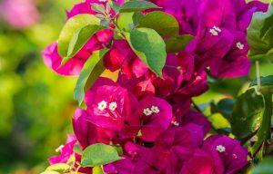 roz voukambilia
