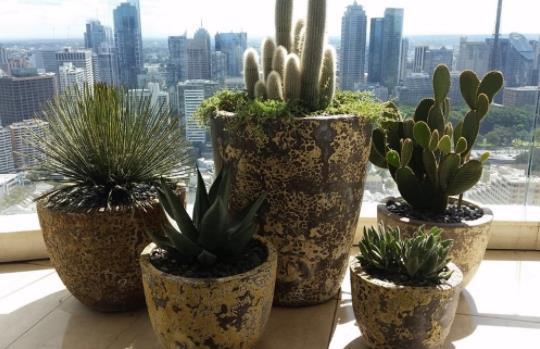 cactus kaktoi