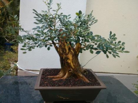 elia bonsai