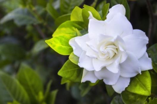 gardenia balcony