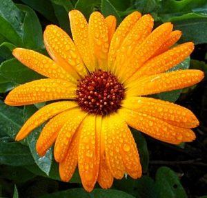 portokali kalentoyla