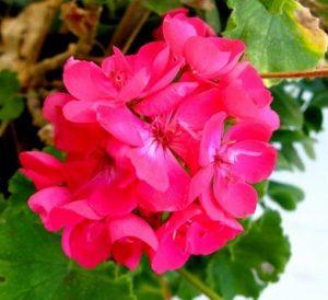 roz moloxa fyto