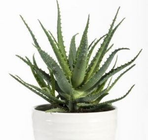 aloe vera air cleaner