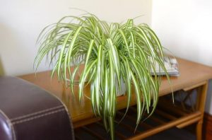 chlorophytum office plant
