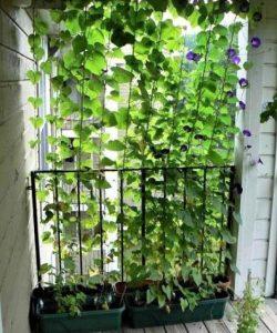 αναρριχώμενα φυτά για το μπαλκόνι