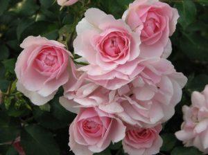 ροζ τριαντάφυλλα κήπος