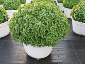 φυτό βασιλικός με πολλαπλές ιδιότητες