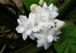 φούλι λουλούδι που έχει μεθυστική μυρωδιά