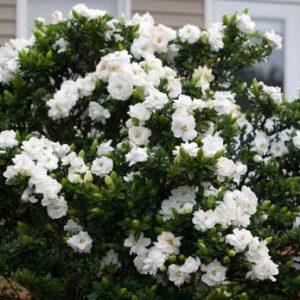 λουλούδι γαρδένια με υπέροχο άρωμα