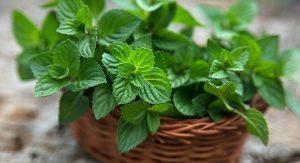 μέντα φυτό με ωραία μυρωδιά
