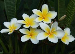 πλουμέρια φυτά με ωραίο άρωμα