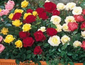 πολύχρωμες τριανταφυλλιές