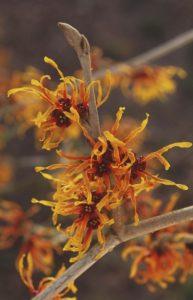 αμαμελίδα χειμερινό φυτό