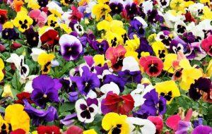 λουλούδια για κήπο χειμώνα