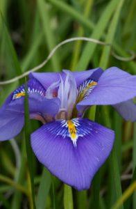 μοβ ίριδα λουλούδι