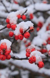 χειμερινά φυτά