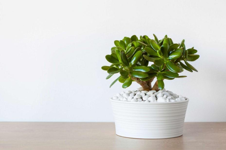 άσπρη γλάστρα με κρασούλα φυτά τύχη