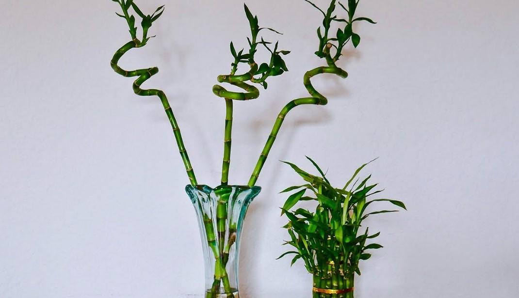 μπαμπού σε γλάστρα φυτά τύχη