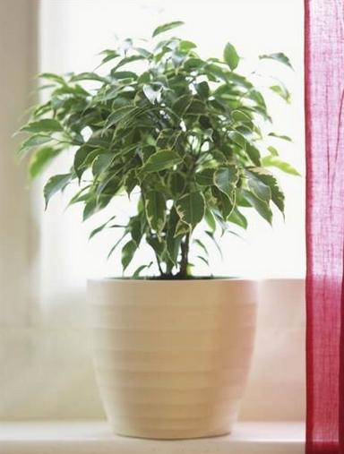 Φίκος Οικονομικά φυτά