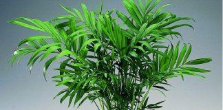 Μπαμπού οικονομικά φυτά