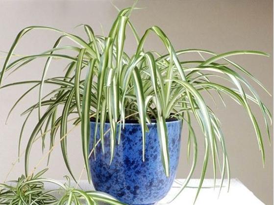 Φυτό αράχνη σε μπλε γλάστρα