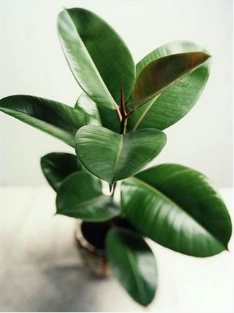 Καουτσοκόδεντρο από τα οικονομικά φυτά