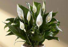 σπαθίφυλλο άσπρη γλάστρα άσπρα λουλούδια