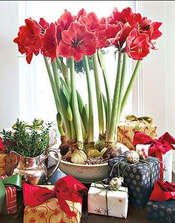 αμαρυλλίς κόκκινο χρώμα βολβοί χριστουγεννιάτικα φυτά