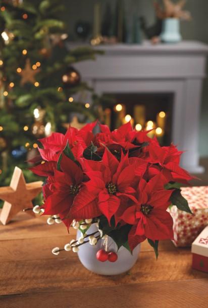 γλάστρα αλεξανδρινό Χριστούγεννα