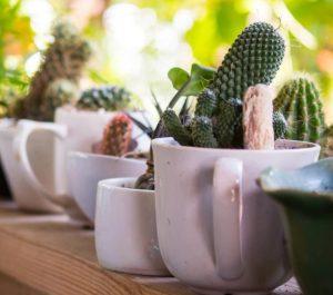 κάκτοι σε κούπα του καφέ