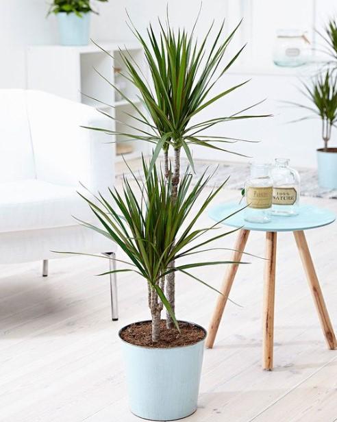 μεγάλη δράκαινα γαλάζια γλάστρα φυτά σκοτεινές γωνίες