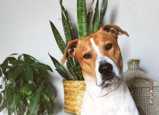 σκύλος γλάστρες φυτά τοξικά σκύλους