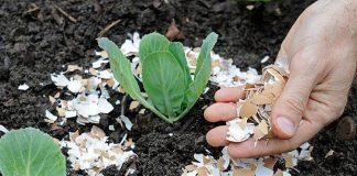 τσόφλια αυγού χώμα φυτό