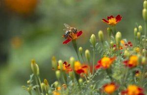 κήπος φυτά λουλούδια μέλισσες