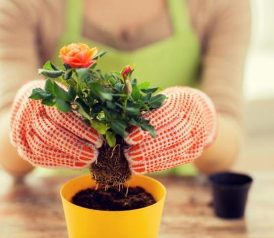 πως να φυτέψεις την δική σου τριανταφυλιά