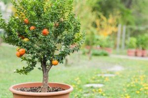 μικρά δέντρα φρούτων γλάστρες