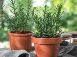 Πως να φυτεύσεις δεντρολίβανο σε γλάστρα