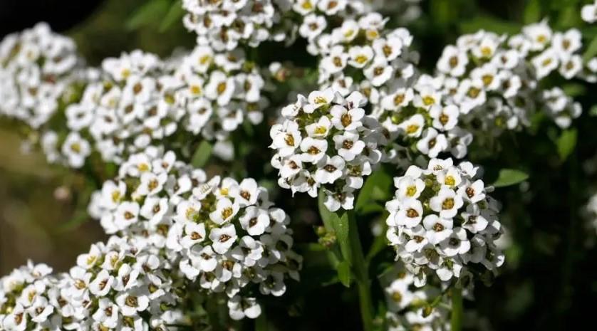 λευκό άλυσσο κήπος