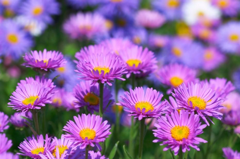 μοβ άστερ κήπος φθινοπωρινά λουλούδια