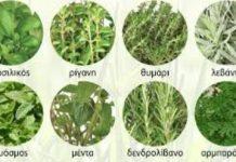 αρωματικα φυτα