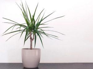 δράκαινα φυτό