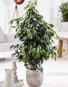 φυτό φίκος μπέντζαμιν