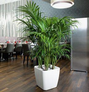 κέντια φυτο για το σαλόνι