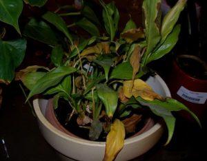 κιτρινα φυλλα στο φυτο