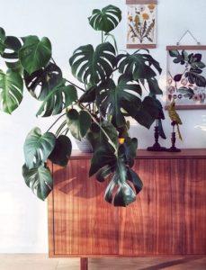 μονστέρα φυτό εσωτερικού χώρου