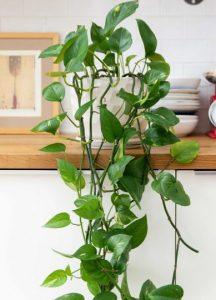 πόθος φυτό