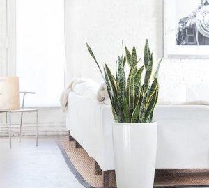 σανσεβέρια φυτό