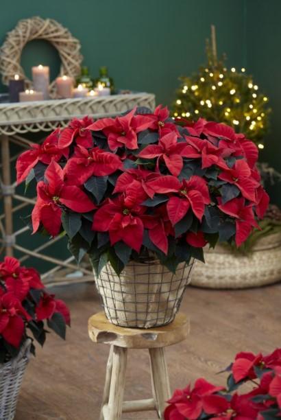 αλεξανδρινό γλάστρα χριστουγεννιάτικα διακοσμητικά